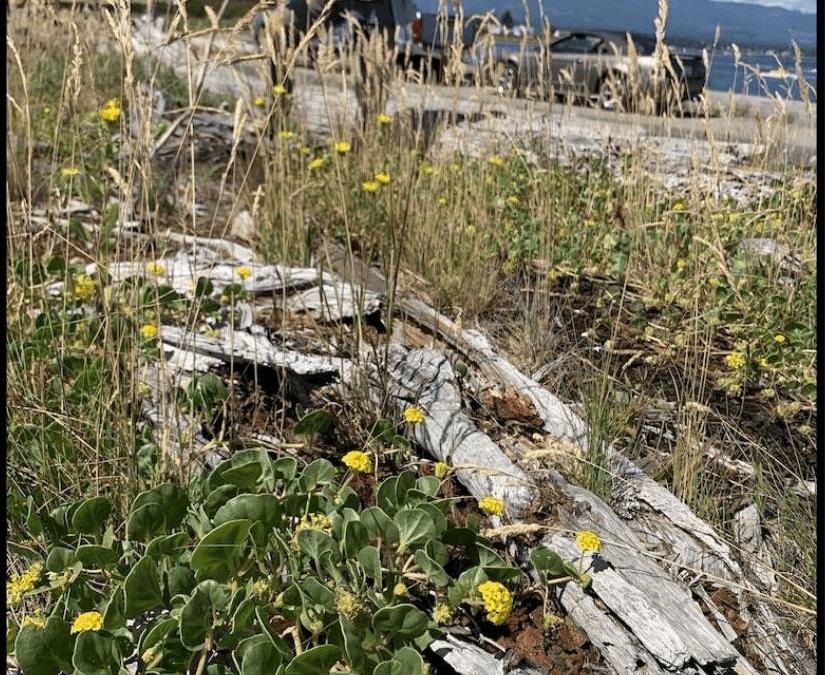 Goose Spit Park Yellow Sand-verbena Inventory 2021